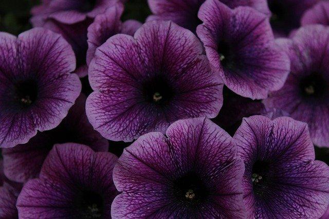 fialové petunie