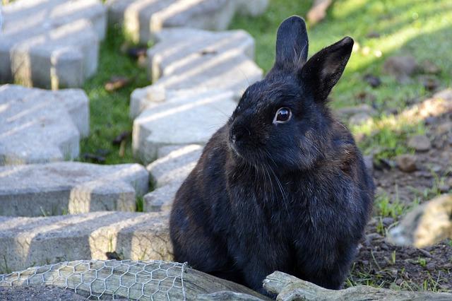 černý králíček