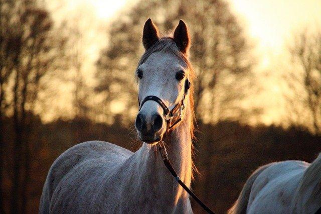 Kůň s koženou ohlávkou